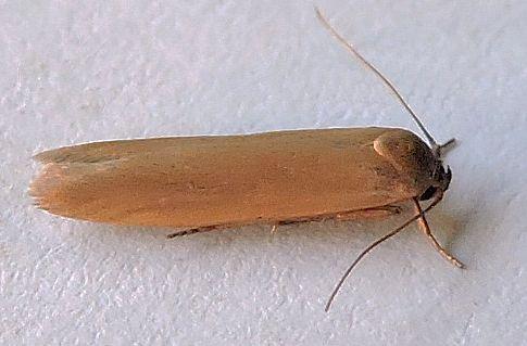 Holcocera immaculella  - Holcocera immaculella