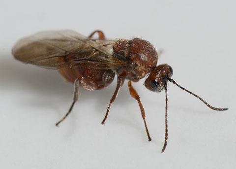 Oak Apple inducer - Andricus quercuscalifornicus - female
