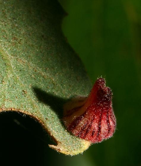 Gall - Cynipid Wasp - Andricus atrimentus - Andricus atrimentus - female