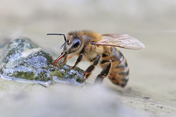 Apis mellifera - Western Honey Bee - Apis mellifera - female
