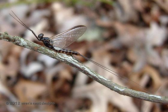 Mayfly 2. - Leptophlebia
