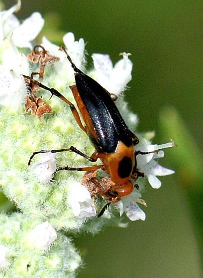 Macrosiagon limbata - female