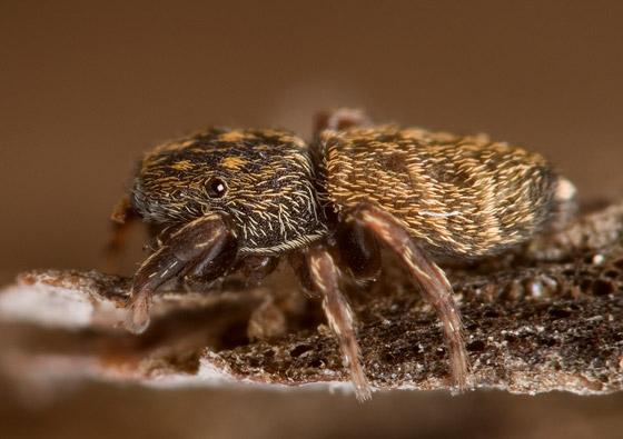 Attidops - Attidops youngi - female
