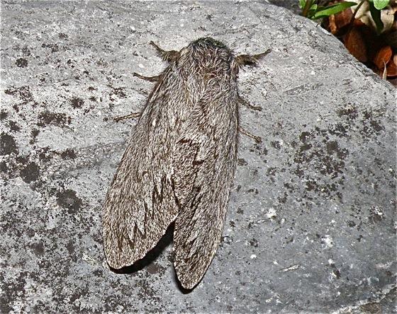 Hairy Gray Moth - Gloveria arizonensis
