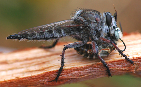 Robber Fly - Promachus - female