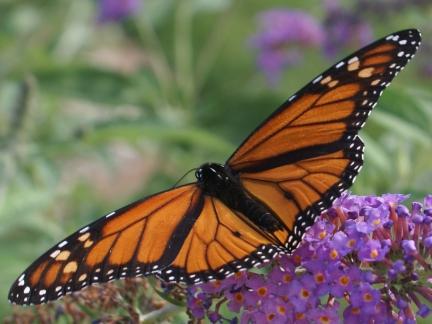 Monarch - Danaus plexippus - Danaus plexippus - male