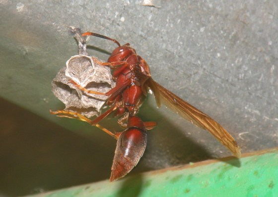 Polistes major castaneicolor - Polistes major - female