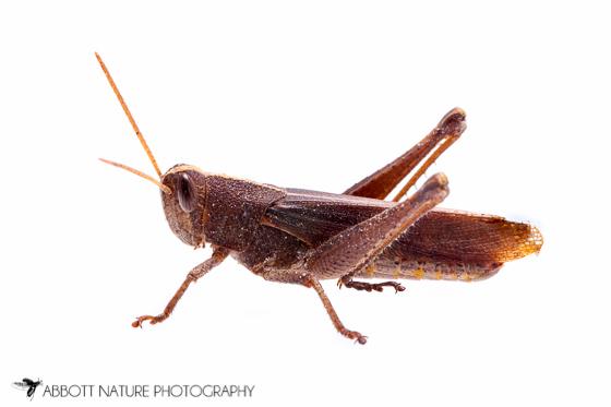 Acrididae - Schistocerca damnifica - male