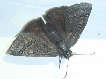 Sleepy Duskywing - Erynnis brizo - male