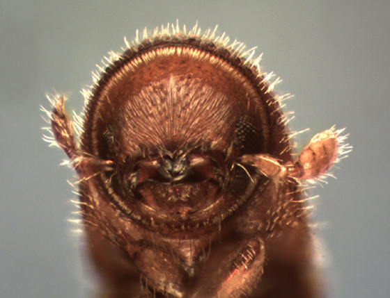 Gnathotrichus pilosus (LeConte) - Gnathotrichus pilosus - male