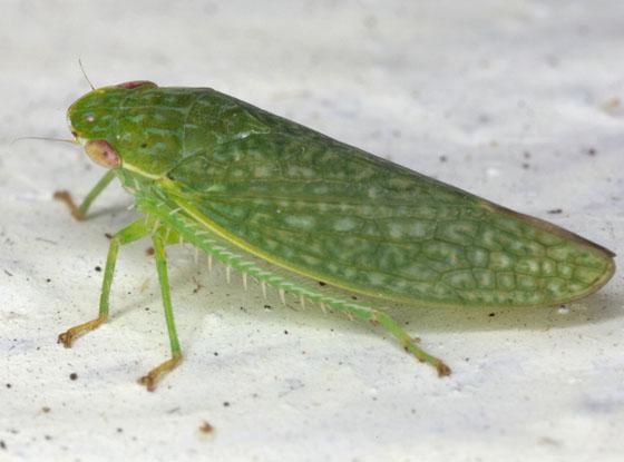 Leafhopper IMG_4061 - Rugosana querci