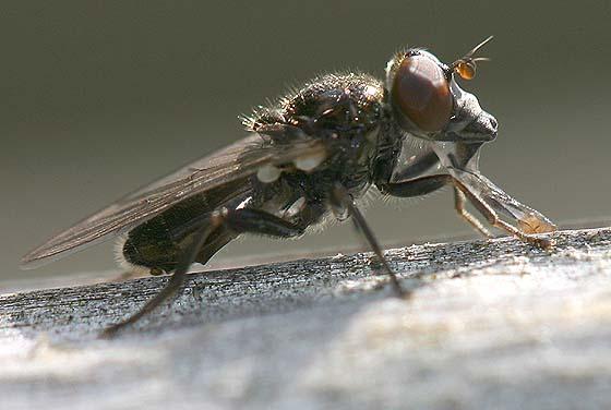 Syrphid Fly - Cynorhinella longinasus - male