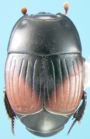 Histerid - Atholus bimaculatus - female