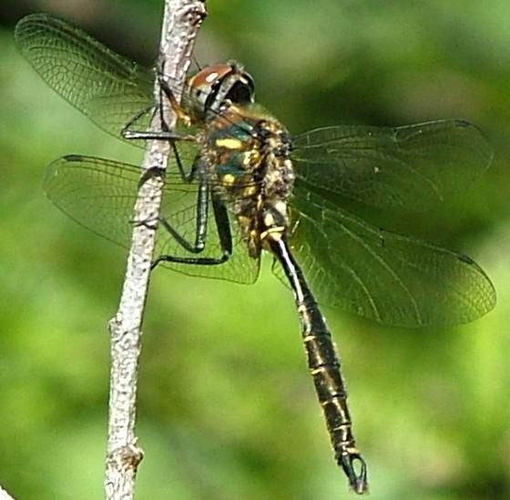 Pretty Dragonfly - Somatochlora walshii - BugGuide.Net