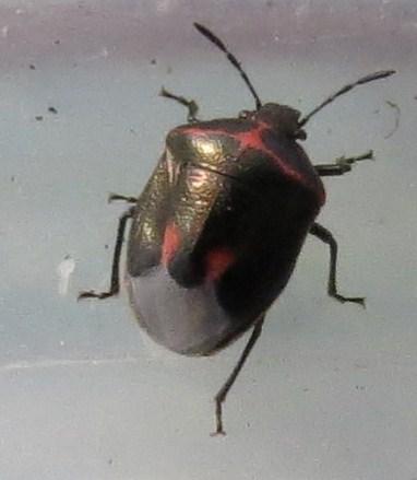 Bug - Cosmopepla lintneriana