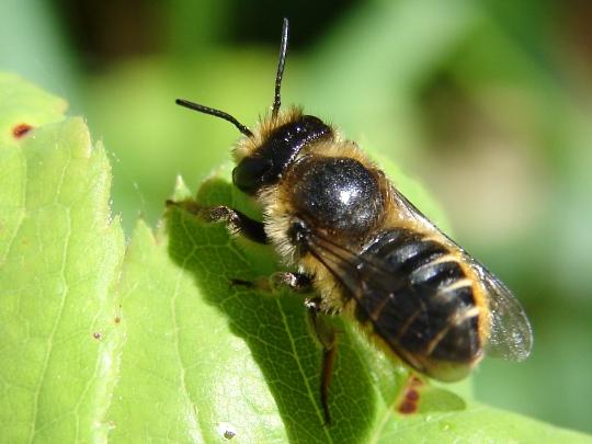 Leafcutter Bee - Megachile centuncularis - female