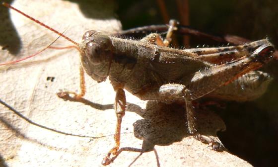 Scudder's Short-wing Grasshopper - Melanoplus scudderi - male