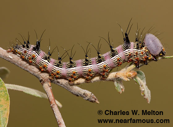 Larva Day 28. - Schizura biedermani