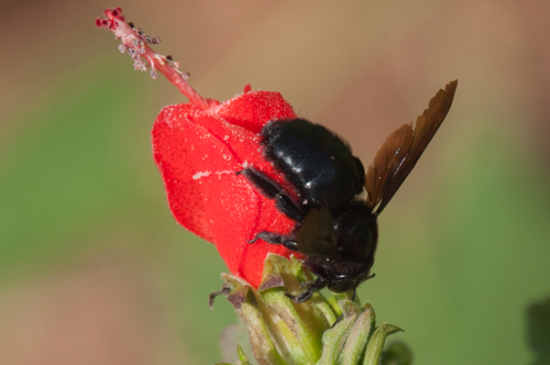Carpenter Bee? - Xylocopa mexicanorum