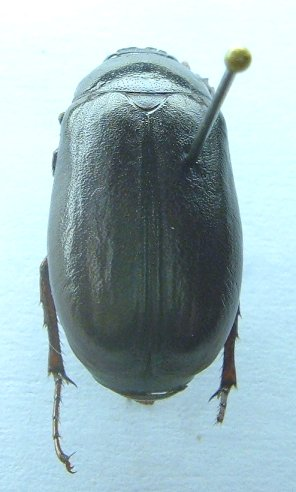 Phyllophaga drakii - male