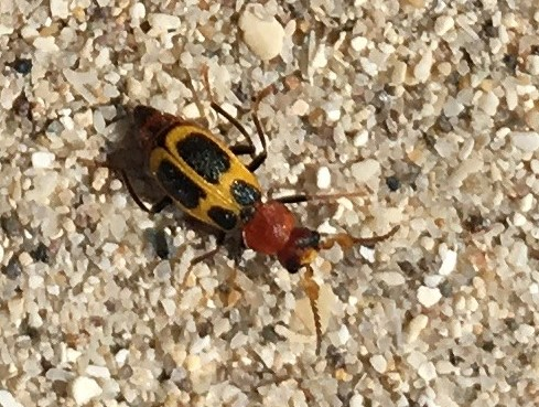 Tiny spotted beetle in coastal dunes - Collops crusoe