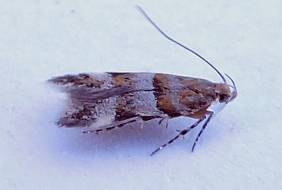 Arizona micro moth - Theisoa multifasciella