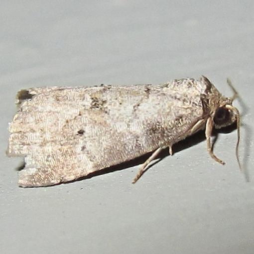 Hodges #9037 - Dotted Graylet Moth - Hyperstrotia pervertens