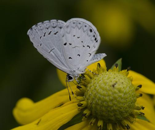 light blue/grey butterfly - Celastrina neglecta