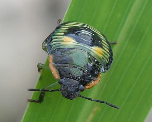 Leaf beetle?? - Chinavia hilaris