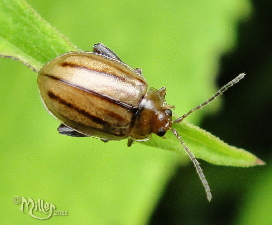 Flea Beetle is as far as I can get...  - Capraita subvittata