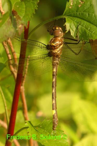 Newly emerged dragonfly (DDF176B) - Macromia illinoiensis