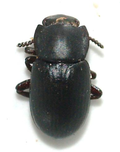 Small with flared pronotum - Conibius gagates