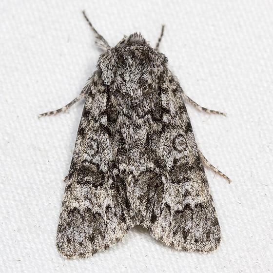 Impressed Dagger Moth - Hodges#9261 - Acronicta impressa