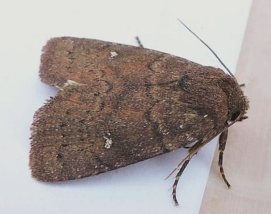 Pennsylvania Moth - Pseudorthodes vecors