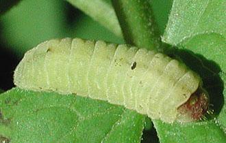 Appalachian Azure - Celastrina neglectamajor