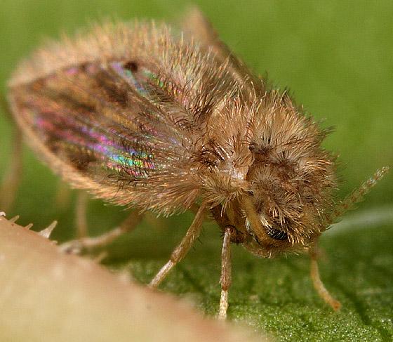 Mating Balls O' Fluff - Psychoda - male - female