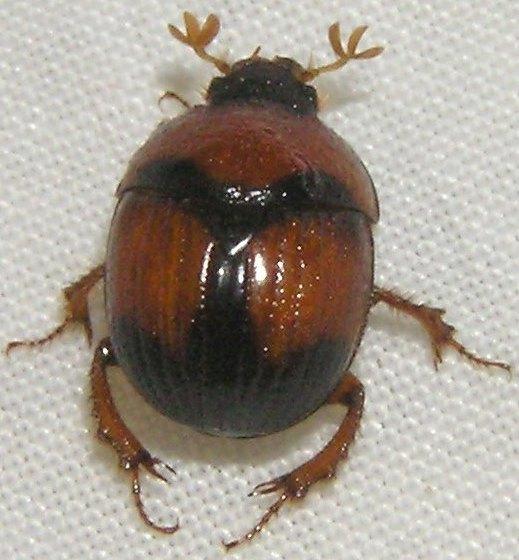 Earth-borer - Bolbocerosoma pusillum