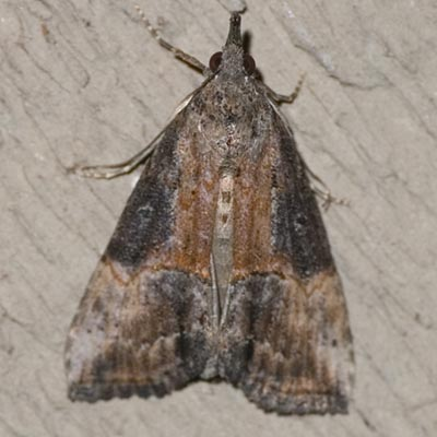 Green Cloverworm Moth - Hodges #8465 - Hypena scabra