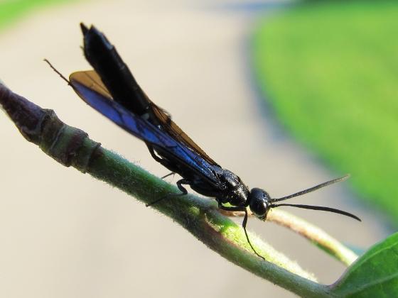 Rose Shoot Sawfly - Hartigia trimaculata