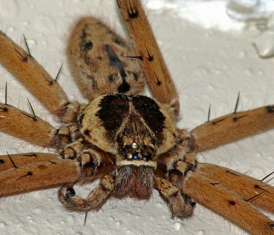 Large Furry Brown Spider, 1-2
