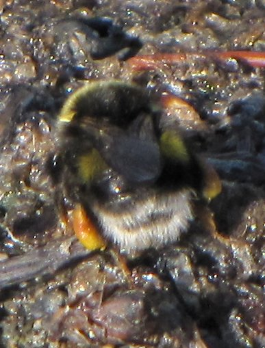 colourful bee - Bombus cryptarum