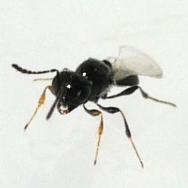 wasp - Platygaster