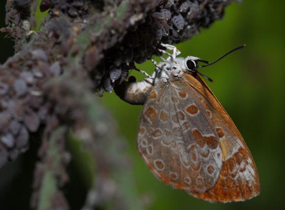 butterfly - Feniseca tarquinius - female