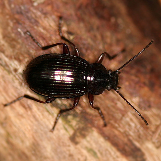 Small black ground beetle - Helops pernitens