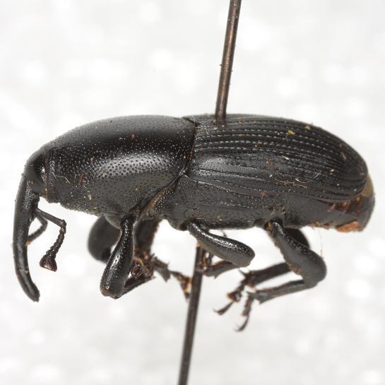 Scyphophorus acupunctatus Gyllenhal - Scyphophorus acupunctatus