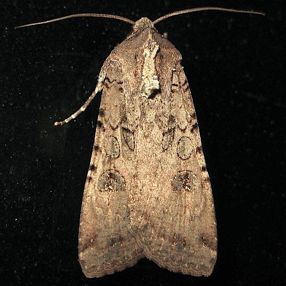 Big noctuid - Peridroma saucia