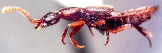 Staphylinidae, Medon sp.? - Medon