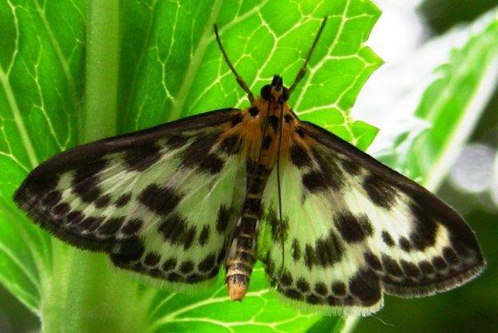Spotted moth visiting the garden - Anania hortulata