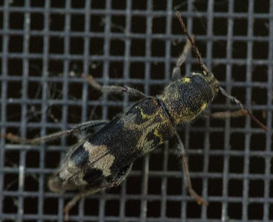 Beetle? - Xylotrechus colonus