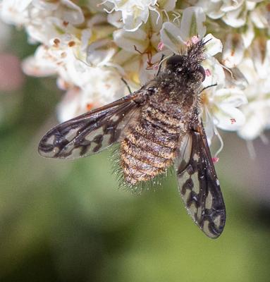 Conophorus fenestratus - female